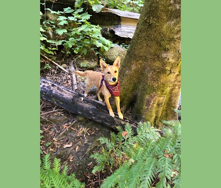 Photo of Remy Roo, a German Shepherd Dog, Australian Cattle Dog, Siberian Husky, American Pit Bull Terrier, and Mixed mix in Aptos, California, USA