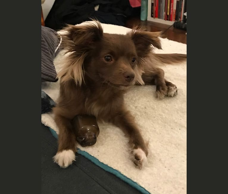 Photo of Squirm, a Chihuahua, Cocker Spaniel, Poodle (Small), Pomeranian, and Mixed mix in Los Angeles, California, USA