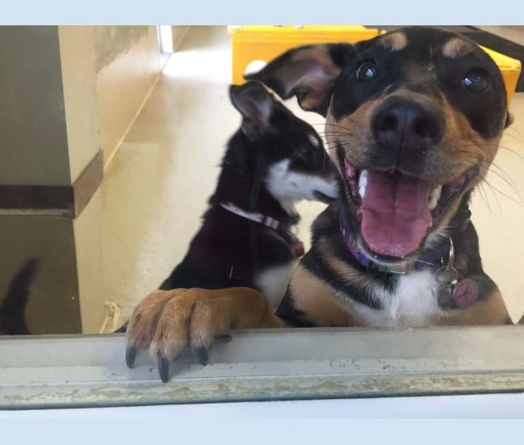 Photo of Beyla, an American Pit Bull Terrier, Australian Cattle Dog, Bluetick Coonhound, Siberian Husky, Alaskan Malamute, and Chow Chow mix in Louisiana, USA