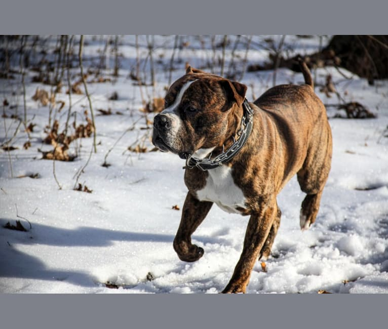 Photo of Loki, an American Pit Bull Terrier (4.7% unresolved) in Michigan, USA