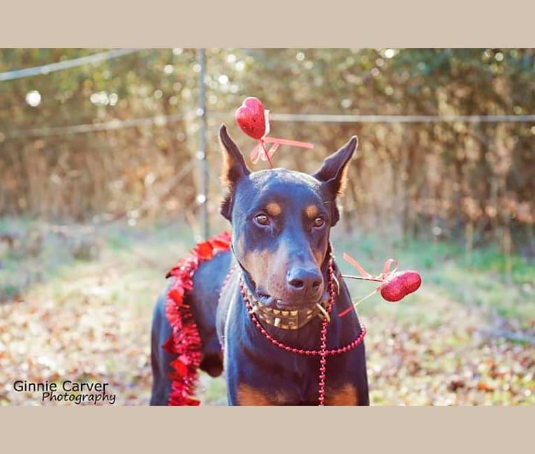 Photo of Riku, a Doberman Pinscher  in GA, USA