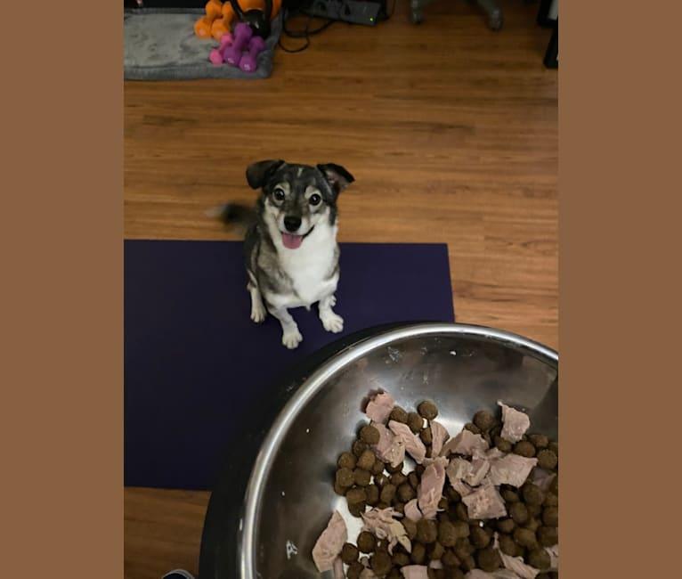 Photo of Jupiter, a Japanese and Korean Village Dog  in Richmond, Virginia, USA