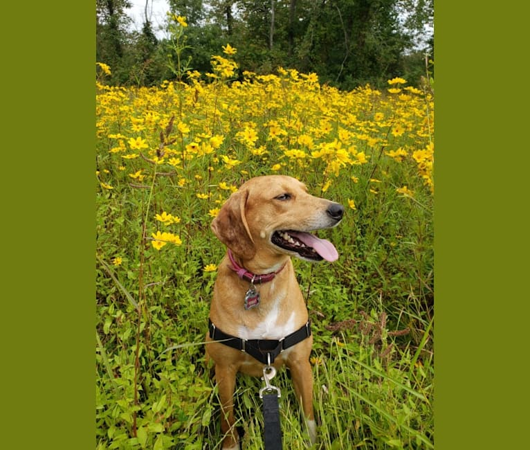 Photo of Maggie, a Beagle, American Foxhound, Bluetick Coonhound, Catahoula Leopard Dog, and Mixed mix in Franklin, VA, USA