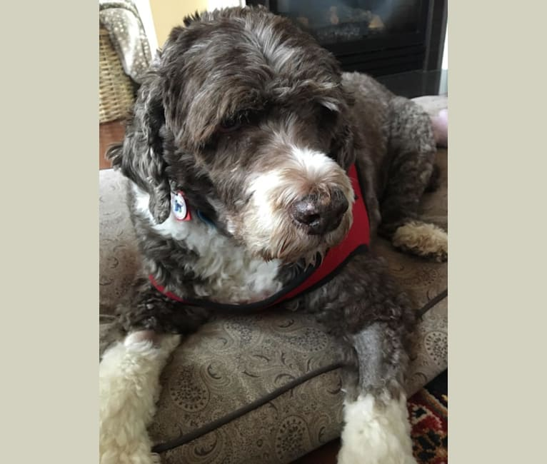 Photo of Kringle, a Portuguese Water Dog  in West Chester, Pennsylvania, USA