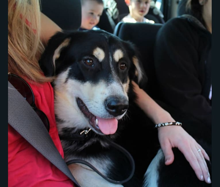 Photo of Koda, an Alaskan Malamute, Siberian Husky, German Shepherd Dog, Newfoundland, Labrador Retriever, and Mixed mix in Wasilla, Alaska, USA