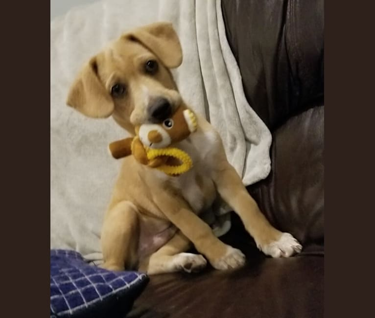 Photo of Marshall, a Beagle, Chow Chow, Boxer, and Mixed mix in Shreveport, LA, USA