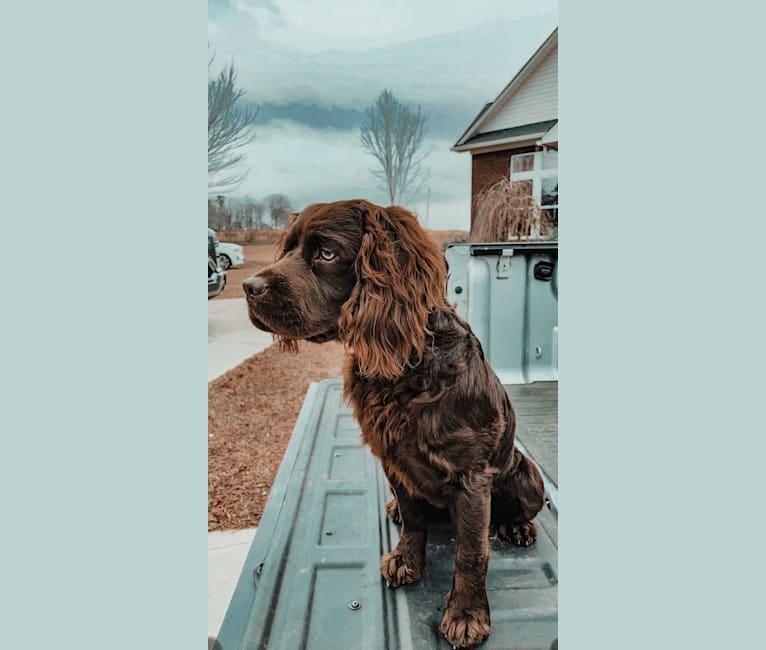 Photo of Koda, a Boykin Spaniel  in Georgia, USA