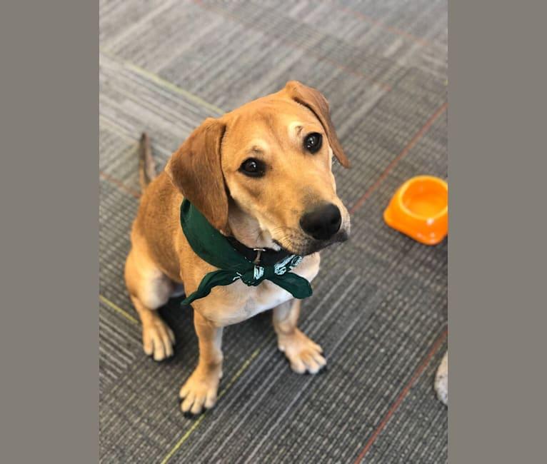 Photo of Duke, an American Pit Bull Terrier, American English Coonhound, Labrador Retriever, German Shepherd Dog, Dachshund, and Mixed mix in South Carolina, USA