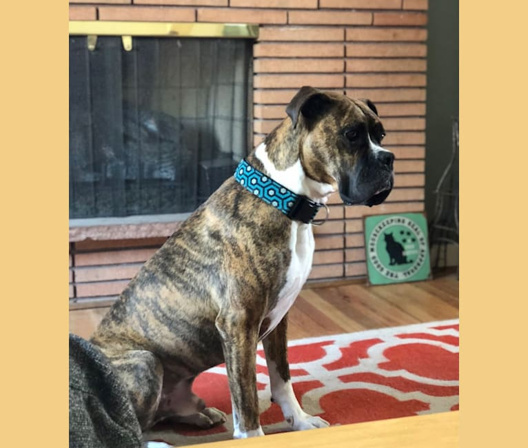 Photo of Chico, a Boxer  in Englewood, Colorado, USA