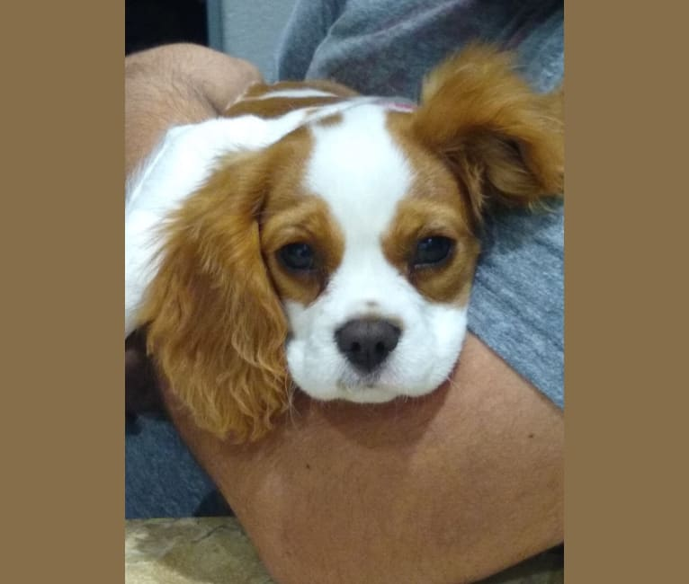Photo of Bailey Claire Dominguez, a Cavalier King Charles Spaniel  in MN, USA