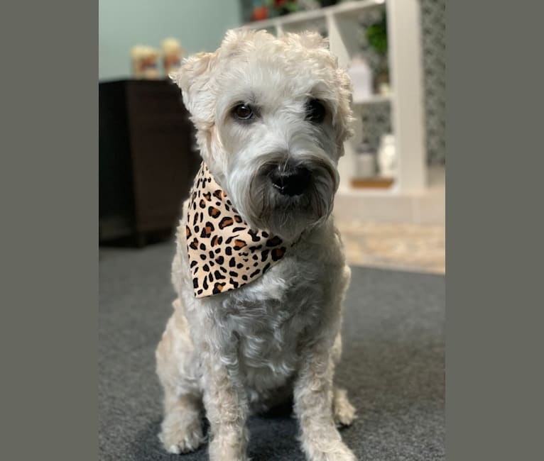 Photo of Brooklyn, a Soft Coated Wheaten Terrier