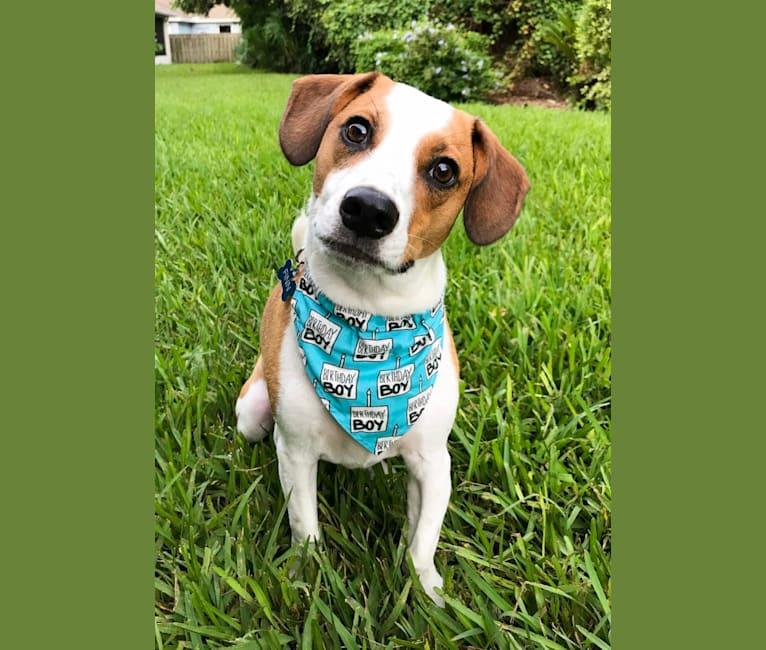 Photo of Finn, a Labrador Retriever, Boykin Spaniel, Boxer, Shih Tzu, American Staffordshire Terrier, Akita, and Mixed mix in Georgia, USA