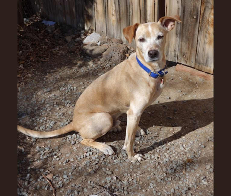 Photo of Caesar, an American Pit Bull Terrier, Australian Cattle Dog, and Mixed mix in Sparks, NV, USA