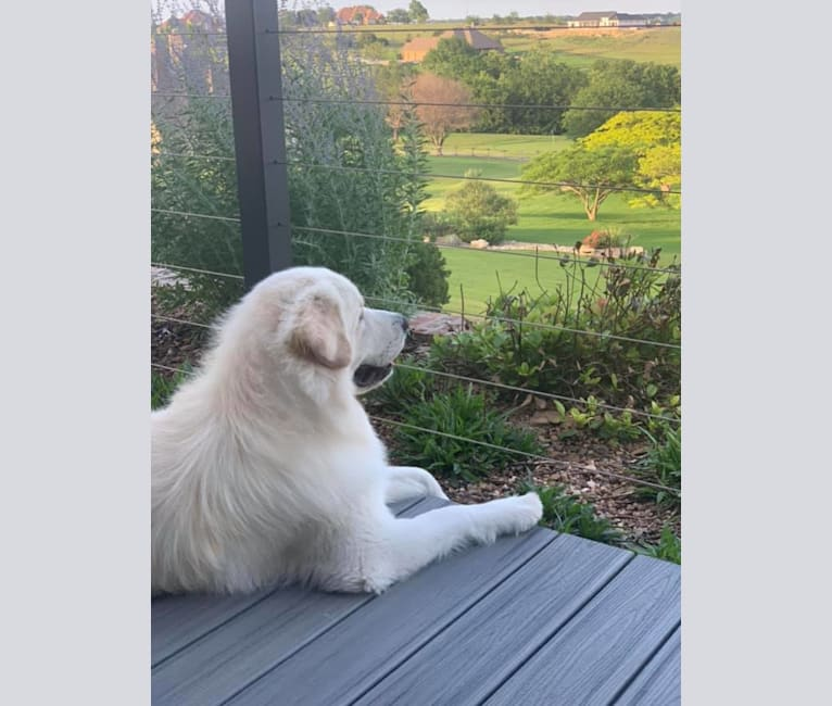 Photo of Ozzy, a Great Pyrenees  in Texas, USA