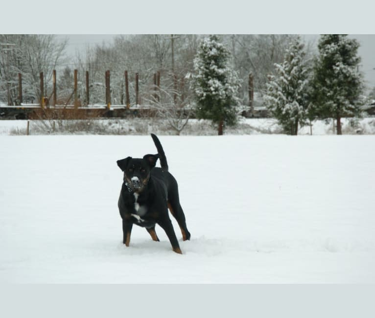 Photo of Bojack, a Boxer, Border Collie, Labrador Retriever, and Australian Shepherd mix in Ardmore, Pennsylvania, USA