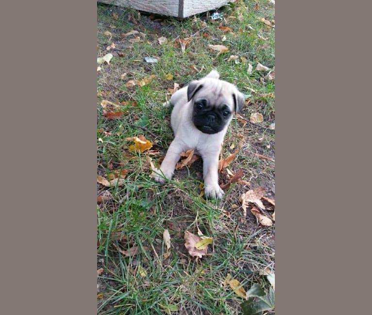 Photo of Rosco, a Pug and Pomeranian mix in Elgin, Illinois, USA