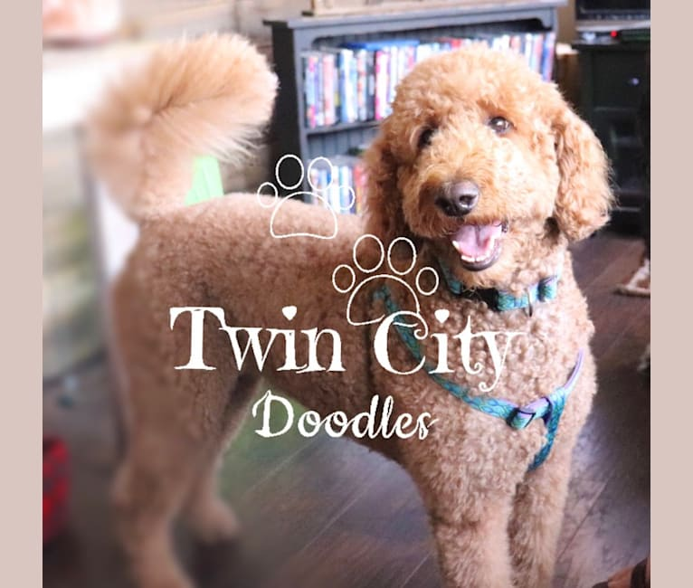 Photo of Millie, a Goldendoodle  in Englewood, TN, USA