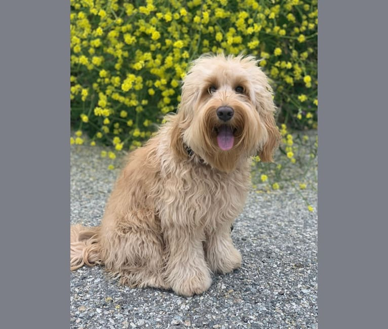 """Photo of Mackenzie """"Mack"""", a Poodle (Standard), Poodle (Small), and Labrador Retriever mix in Bakersfield, CA, USA"""