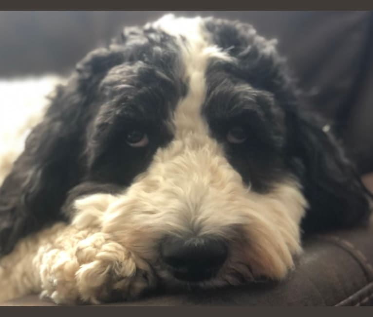 Photo of LC, an English Springer Spaniel and Poodle (Standard) mix