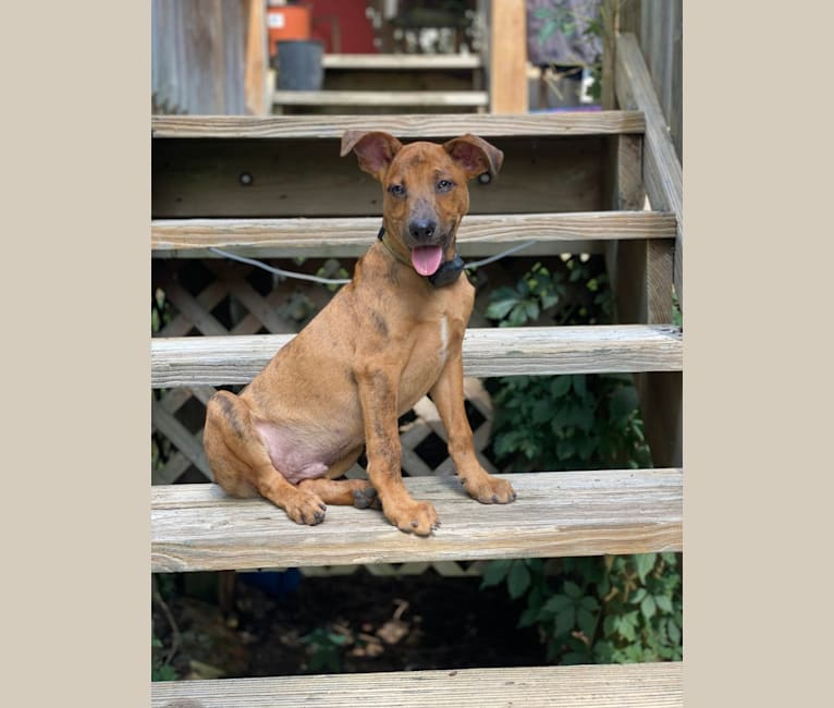 Photo of Jack, an Australian Cattle Dog, Welsh Terrier, Catahoula Leopard Dog, American Pit Bull Terrier, and Mixed mix in Huntsville, Alabama, USA