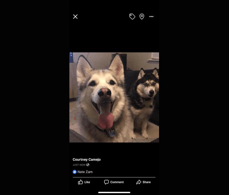 Photo of Chamo, a Siberian Husky, Alaskan Malamute, and German Shepherd Dog mix in Houston, Texas, USA