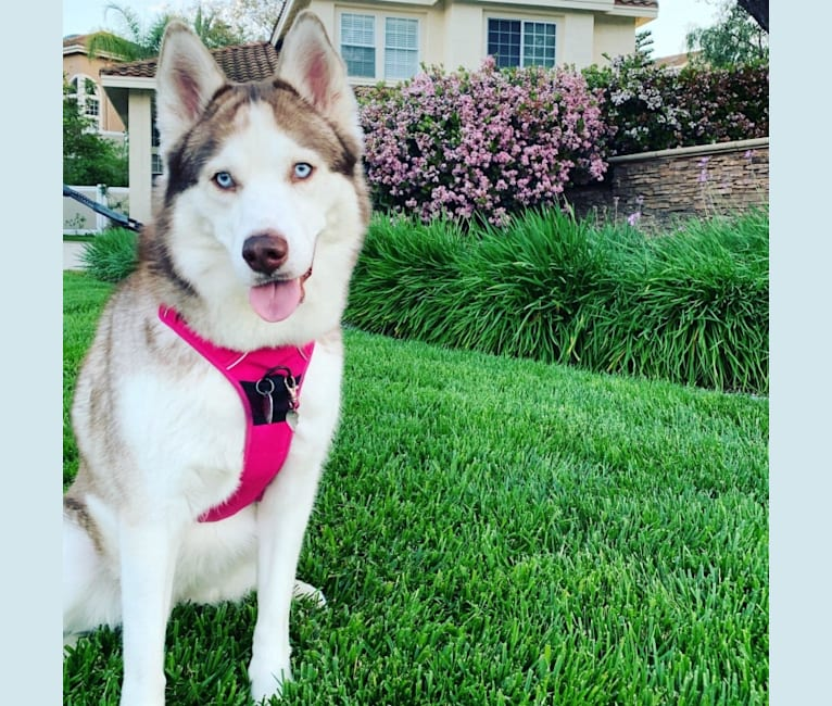 Photo of Penny, a Siberian Husky and Alaskan Malamute mix in San Diego, California, USA