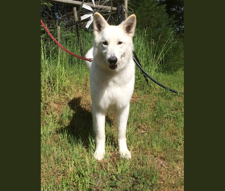 Photo of Bela, a White Shepherd  in Vancouver Island, British Columbia, Canada