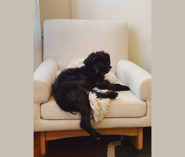 Photo of Marlowe, a Miniature Schnauzer, Poodle (Small), and Cocker Spaniel mix in SF, California, USA