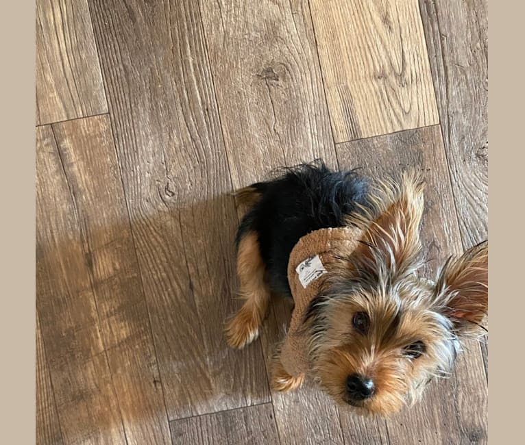 Photo of Brixby, a Yorkshire Terrier  in Joplin, MO, USA