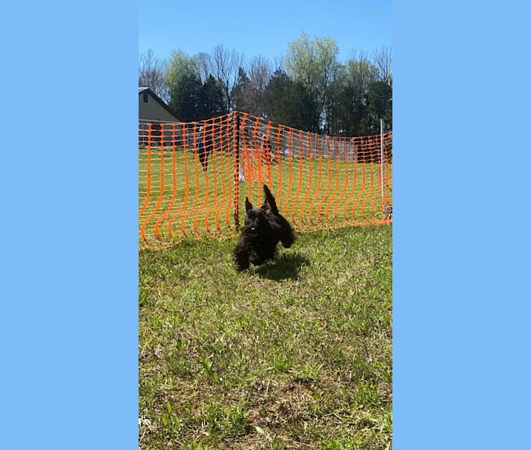 Photo of Obee, a Scottish Terrier  in Lawrenceburg, Tennessee, USA