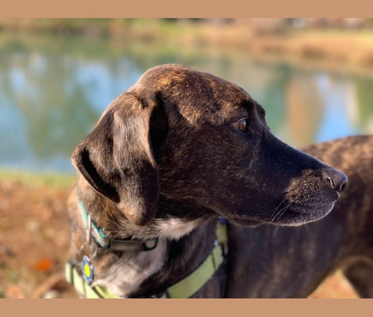 Photo of Scully, a Great Pyrenees, Treeing Walker Coonhound, and Mountain Cur mix in Toccoa, Georgia, USA
