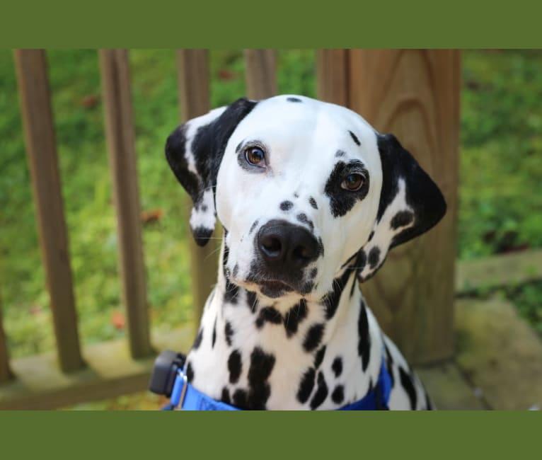 Photo of Theodore Modric Frost, a Dalmatian  in Cary, North Carolina, USA