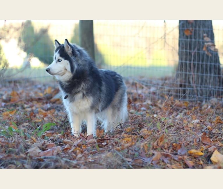 Photo of Skylar, a Siberian Husky