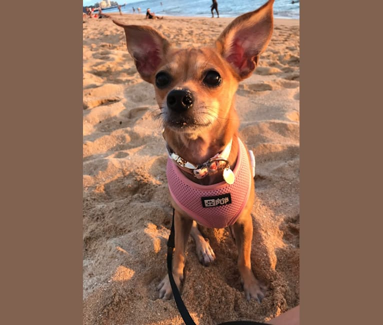 Photo of Ocean, a Chihuahua, Pomeranian, Russell-type Terrier, and Mixed mix in Hawaii, USA
