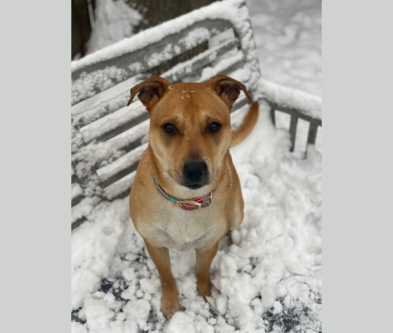 Photo of Poppy, an Australian Cattle Dog, American Pit Bull Terrier, Mountain Cur, and Mixed mix in Boston, Massachusetts, USA