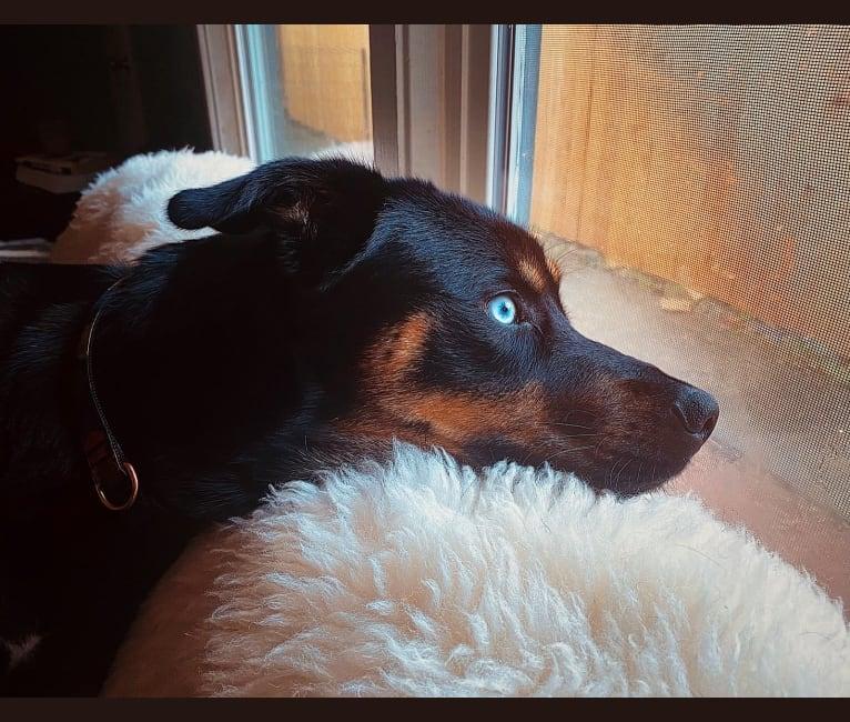 Photo of Goji, a Rottweiler, Siberian Husky, and Alaskan Malamute mix in Portland, Oregon, USA