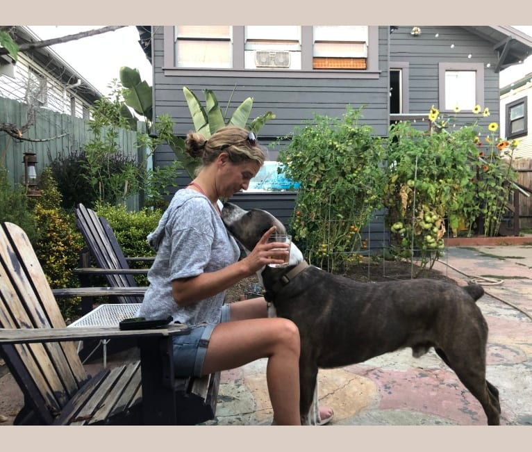 Photo of Hunden, an American Pit Bull Terrier, German Shepherd Dog, and American Staffordshire Terrier mix in Oakland, Kalifornien, USA
