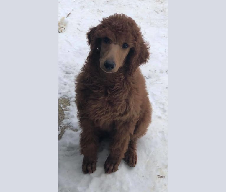 Photo of Patrick, a Poodle (Standard)  in Minnesota, USA