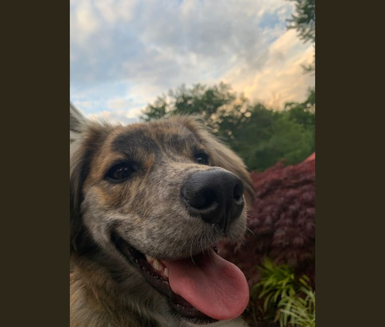 Photo of Franklin, an American Pit Bull Terrier, Siberian Husky, Australian Cattle Dog, Beagle, and Mixed mix in Mississippi, USA
