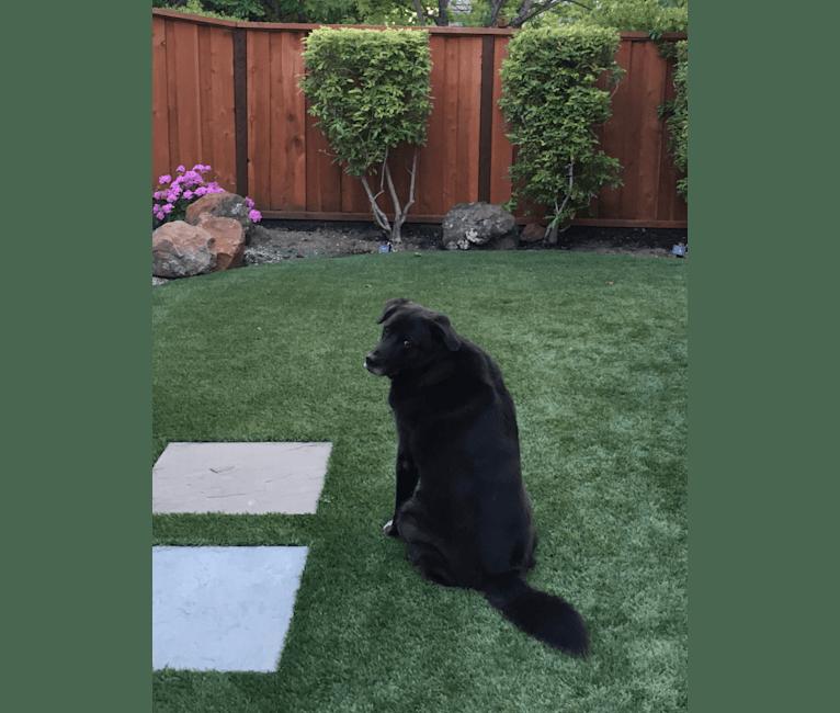 Photo of Reggie, a Golden Retriever and German Shepherd Dog mix in Dana Point, California, USA