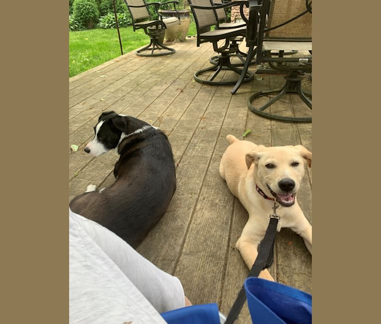 Photo of Ryder, an American Pit Bull Terrier, Labrador Retriever, German Shepherd Dog, Dachshund, and Mixed mix in Rye Brook, New York, USA