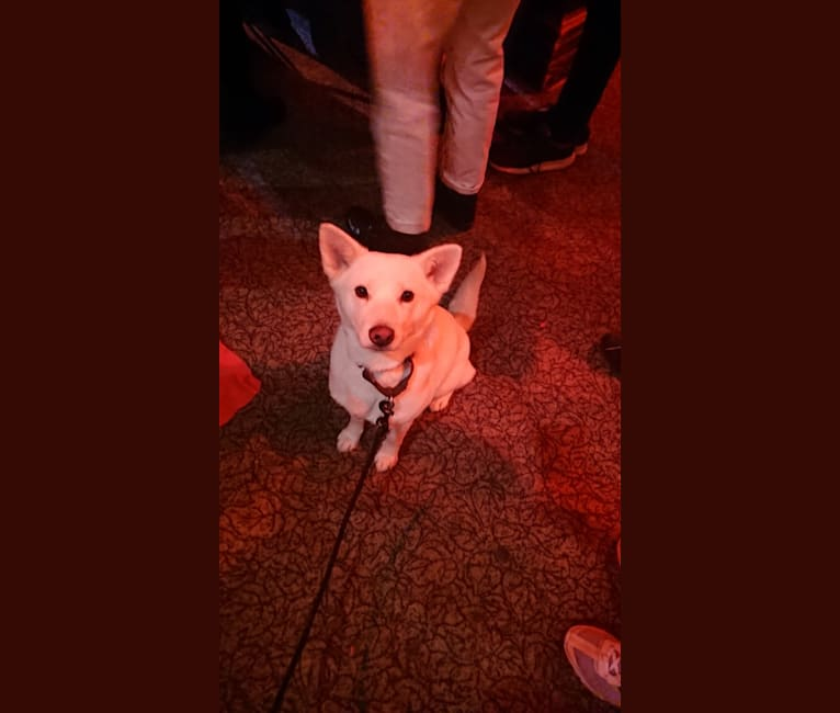 Photo of Bomi, a Jindo  in New York, New York, USA