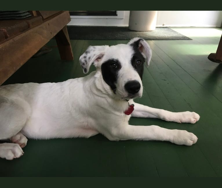 Photo of Hugo, an American Pit Bull Terrier, German Shepherd Dog, Border Collie, Great Pyrenees, American Staffordshire Terrier, and Mixed mix in Oklahoma, USA