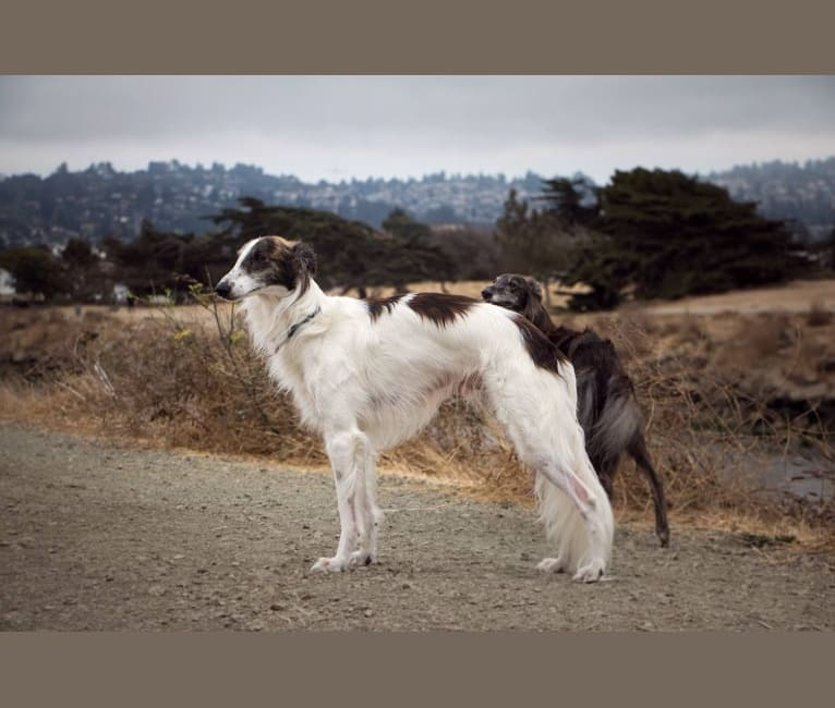 Photo of Mike, a Silken Windhound  in Walnut Creek, CA, USA