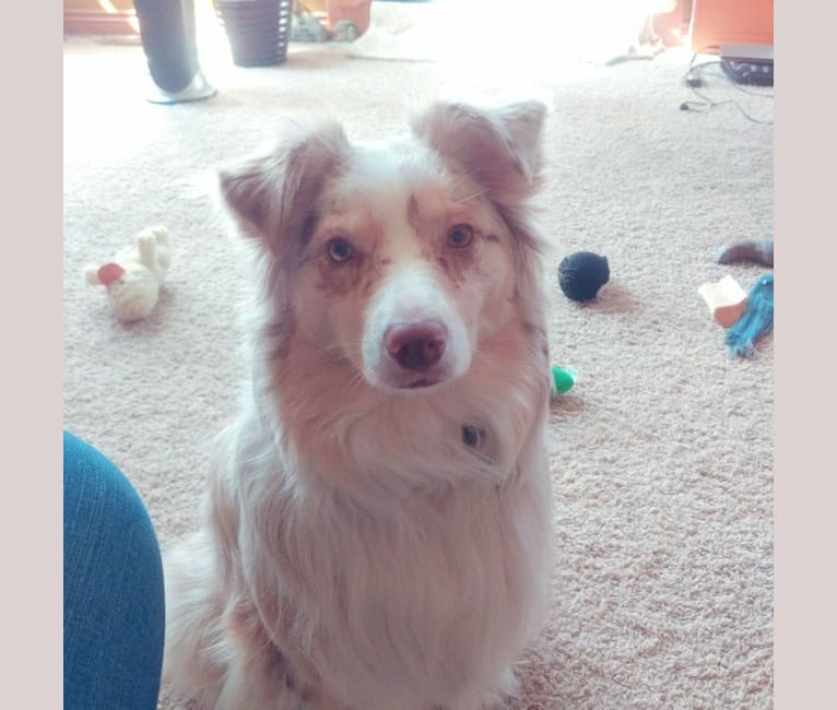 Photo of Brizzie, an Australian Shepherd Group  in Paw Paw, Michigan, USA
