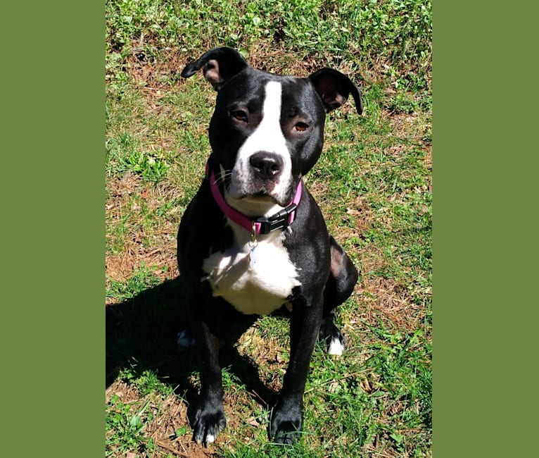 Photo of Jessie, an American Pit Bull Terrier and American Staffordshire Terrier mix in Kennesaw, Georgia, USA