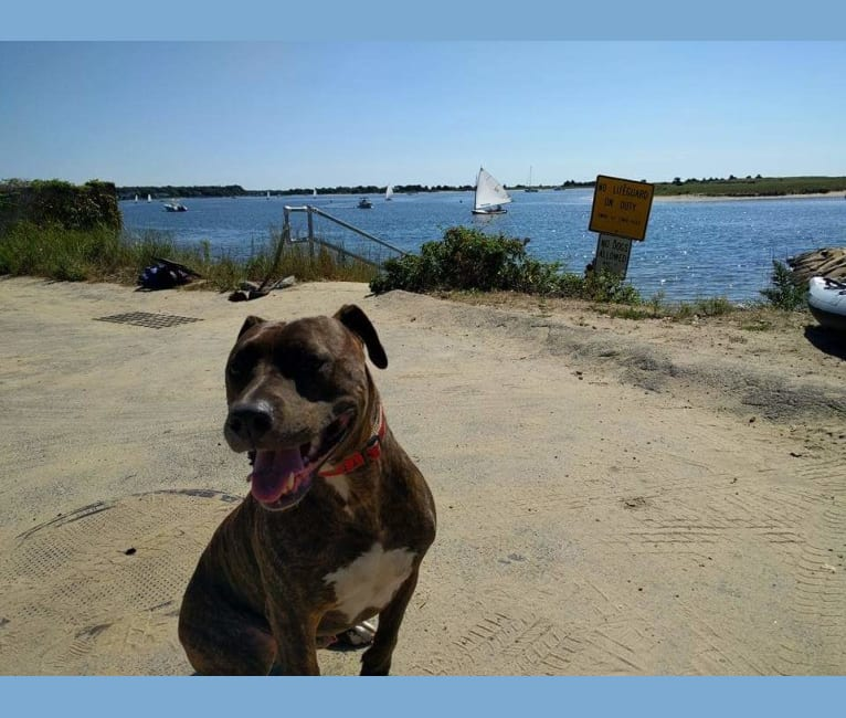 Photo of Rally, an American Pit Bull Terrier and American Staffordshire Terrier mix in Boston, Massachusetts, USA