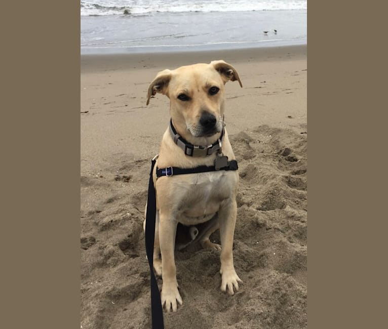 Photo of Cooper, an American Staffordshire Terrier, Poodle (Small), and Mixed mix in Fresno, California, USA