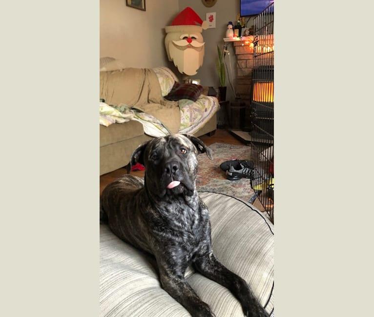 Photo of Godric Gryffindor Guzman, a Mastiff  in Nebraska City, Nebraska, USA