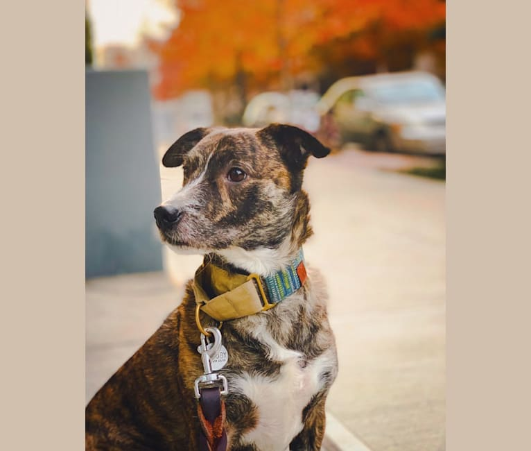 Photo of Toby, an American Pit Bull Terrier, Chihuahua, Chow Chow, and Papillon mix in Atlanta, Georgia, USA